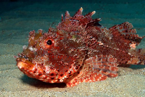 Red-Rock-Cod1